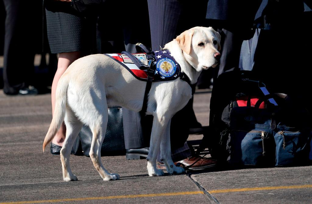 Le labrador Sully était sur le tarmac à Houston, au Texas, pour accompagner le cercueil de son maître, George H. W. Bush, à bord d'Air Force One, lundi.