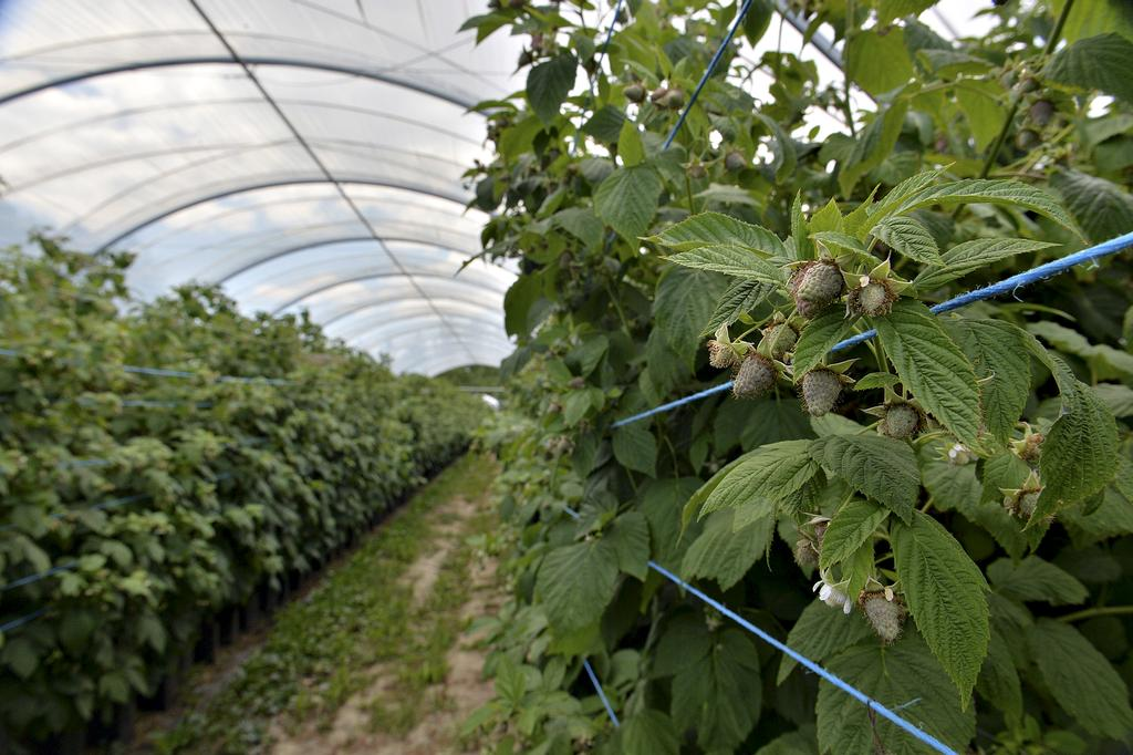 Photo de la production de framboises hors sol