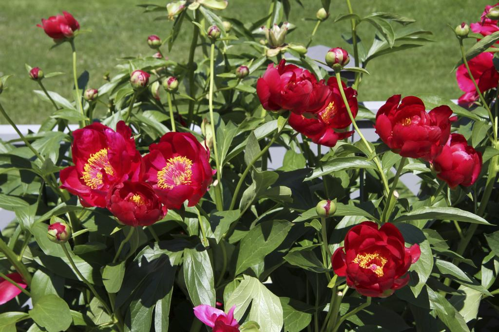 Pivoine herbacée 'Illini Warrior'